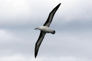 1439144520_albatros
